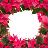 Frame of pink poinsettia flower or christmas star Royalty Free Stock Image