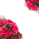 Frame of pink poinsettia flower or christmas star Stock Photo