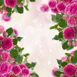 Frame of  pink roses brunches Royalty Free Stock Photography