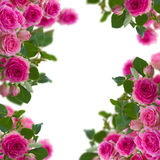 Frame of pink roses brunches close up Stock Images