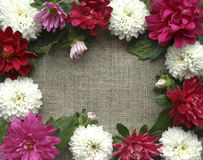 A frame of pink and white chrysanthemums Stock Image