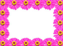 Frame from Pink Zinnia Flower Stock Image