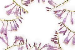 Frame with purple hosta flowers isolated on white background. Royalty Free Stock Photo