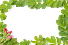 Frame of roses and leafs. Green beauty frame of leafs and rose blossom Royalty Free Stock Photos