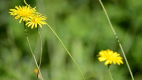 Frame of serene yellow wild flowers swinging stock video