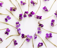 A frame of small forest flowers purple violets on white background with copy space Royalty Free Stock Photography