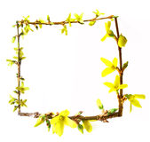 Frame from spring buds forsythia flowering Stock Image