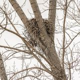 Frame Square A birds nest sitting between the slim brown branches of a tree. A vast white sky can be seen through the leafless branches of the tree stock photo
