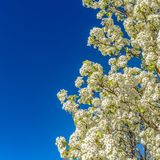 Frame Square Close up of a white flowering tree isolated against a clear blue sky background royalty free stock photo