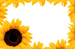 Frame sunflower Stock Image