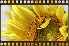 Frame sunflower Stock Photo