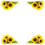 Frame of sunflowers. White background stock photos