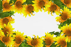 Frame with sunflowers. On a white background Royalty Free Stock Photos