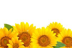 Frame of sunflowers on a white background. Background with copy space. Top view Royalty Free Stock Image
