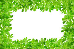 Frame from sweet woodruff leaves Stock Photo
