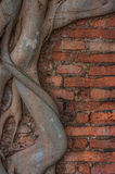 Frame of tree roots on the red brick. Stock Images