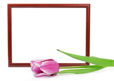 Frame with tulip isolated on white Royalty Free Stock Photo