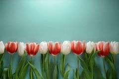 Frame of tulips multicolored on a light turquoise background stock image