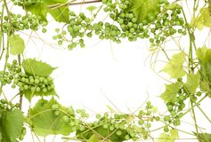 Frame from unripe green grapes Stock Photo