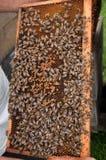 Frame van een bijenbijenkorf Royalty-vrije Stock Fotografie