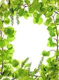 Frame van groene aspisleafage; Royalty-vrije Stock Afbeeldingen