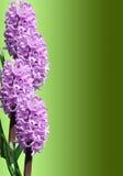 Frame van hyacint Royalty-vrije Stock Fotografie