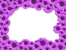 Frame Violet Senecio flower. Frame from Violet Senecio flowers isolated on white background Royalty Free Stock Photo
