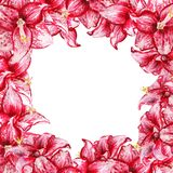Frame with amaryllis. Frame with watercolor image of red flowers of amaryllis on white background Royalty Free Stock Image