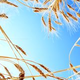 Frame of Wheat against Clear Blue Sky Royalty Free Stock Images