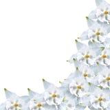 Frame from white aquilegia Royalty Free Stock Photos