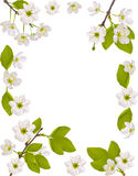 Frame with white cherry flowers illustration Royalty Free Stock Photo