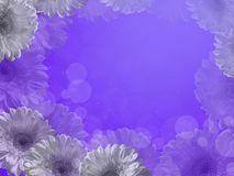 A frame of white gerberas on a purple background. Stock Photos