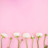Frame of white ranunculus flowers and buds pink background. Flat lay, top view. Floral background. Frame of white ranunculus flowers and buds pink background Royalty Free Stock Image