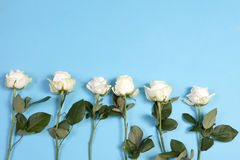 The Frame of white roses on a blue background Stock Photo