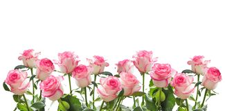 Frame of white roses with a pink border isolated Stock Photos