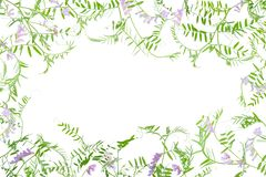 Frame of wild vetch Stock Photo