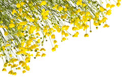 Frame with yellow buttercups on a white background. Stock Photography