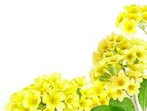 Frame from yellow primrose Stock Photos