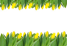 Frame yellow tulp. Stock Images