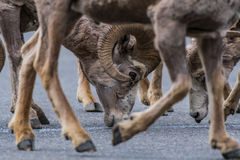 Framed Big Horn Sheep Head. Through the legs of another bighorn sheep Royalty Free Stock Photos