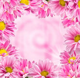 Framed color pink chrysanthemums Stock Photography