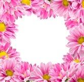 Framed color pink chrysanthemums Stock Photos