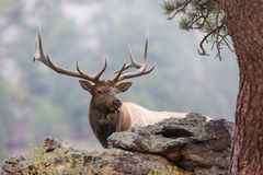 Framed elk by fir tree Royalty Free Stock Image