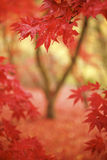 Framed in red. A distant tree is framed by red leaves in foreground. The tree is out of focus in the portrait formated frame stock image
