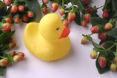 Framed Rubber Duckling. Rubber duckling stock photo