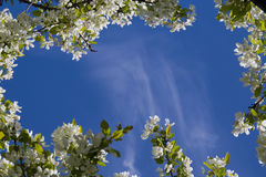 Framed sky. Clear blue sky and framed in apple blossoms Royalty Free Stock Images