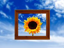 Framed sunflower in sky  Stock Image