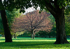 Framed Tree. Sunlit fall tree framed with tree trunks royalty free stock photos