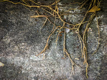 Framed Tree roots on dark dirt ground for background. Royalty Free Stock Photography