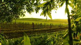 Framed Vineyard. Scenic Vineyard framed with trees Royalty Free Stock Photography